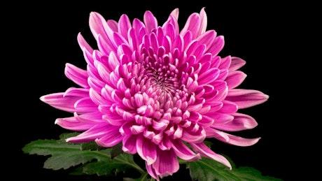 Pink chrysanthemum slowly opening