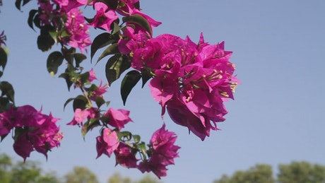 Pink flowers moving in the breeze