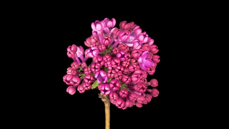 Pink lilacs opening their petals on a black background