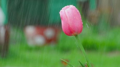Pink tulip under the rain