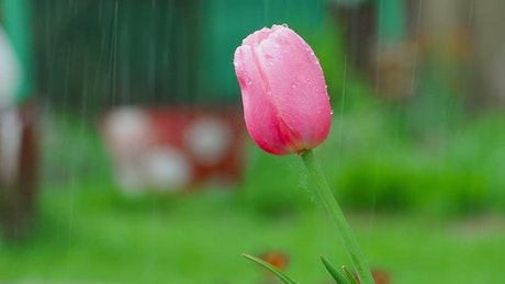 Pink tulip under the rain, shallow focus