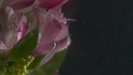 Pink tulip underwater