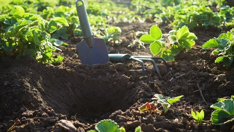 Planting strawberries in the soil