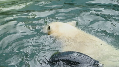 Polar bear at the zoo playing with a tire