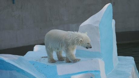 Polar bear cub at the zoo