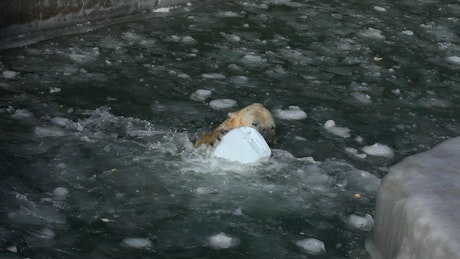 Polar bear playing with a plastic container