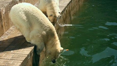 Polar bears eating in the zoo