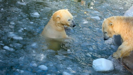Polar bears playing with a plastic container in the ice
