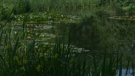 Pond surface with lilies