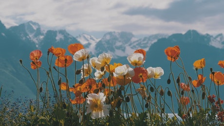 Poppy flowers in the alps environment