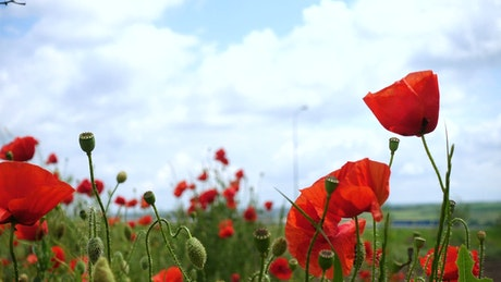 Poppy flowers moving in the wind