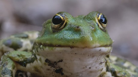 Portrait of a green frog breathing