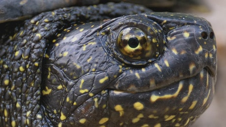 Portrait of black turtle with yellow spots