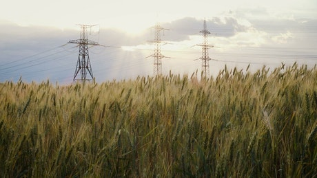 Powerline towers and a wheat field