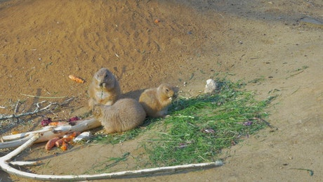 Prairie Dogs eating in a group