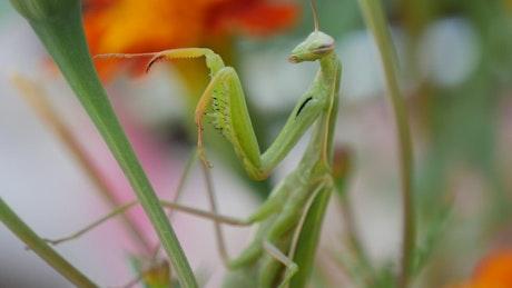 Praying mantis climbing up a plant