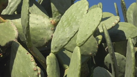 Prickly pear plant close up