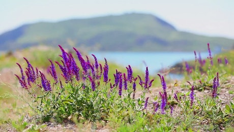 Purple flowers moved by the wind near a lake