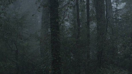 Raining in a cloud forest full of tall trees