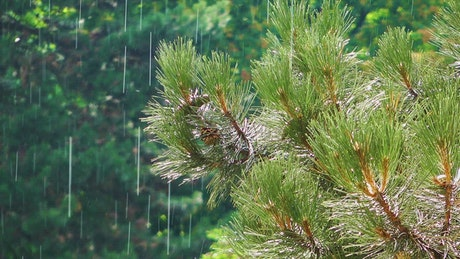 Raining in a pine forest and green trees
