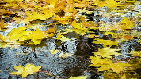 Raining over the maple leaves in the ground