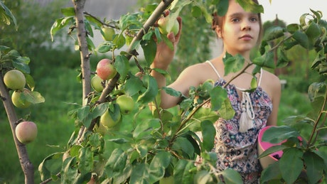 Ranchero girl picking apples from a tree