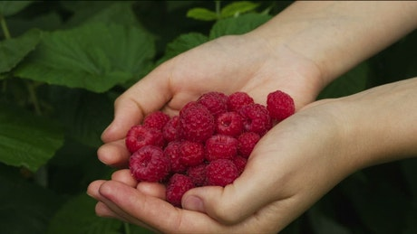 Raspberries falling into the hands of a person
