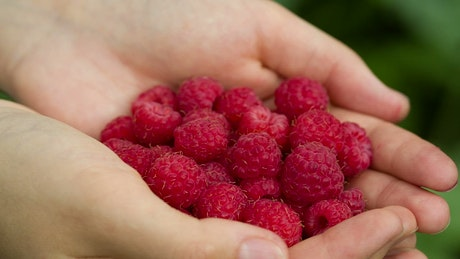 Raspberries in the hands of a person