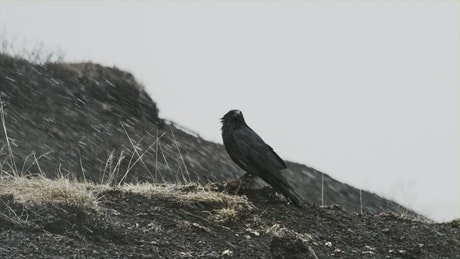 Raven sits on ground in falling snow