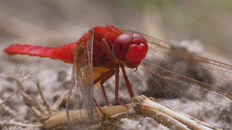 Red dragonfly looking around