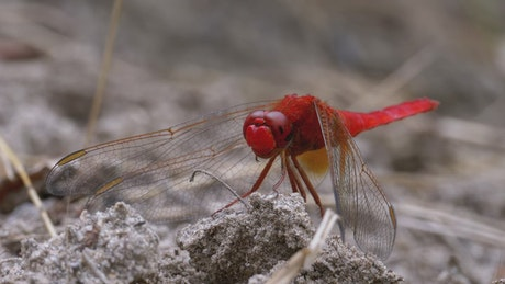 Red dragonfly resting in the ground