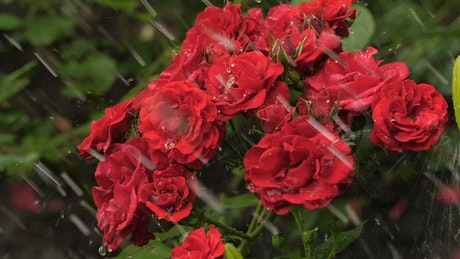 Red flowers wet from the rain