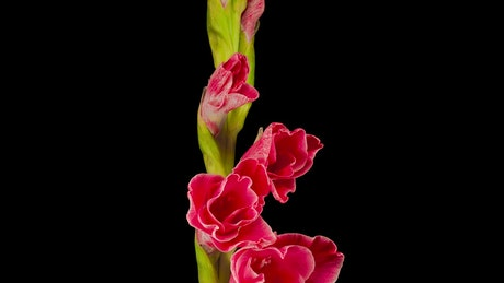 Red gladiolus flower blooming