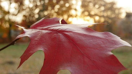 Red leaf in the sunset
