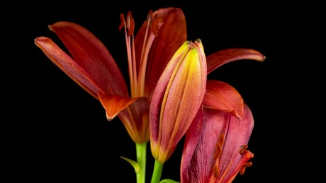 Red lily flower opens