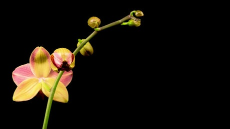 Red orchid on the branch opens