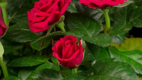 Red roses opening their petals on a rosebush
