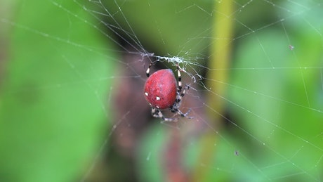 Red spider on a spider web