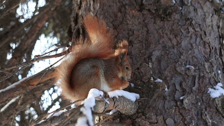 Red Squirrel eating in a tree