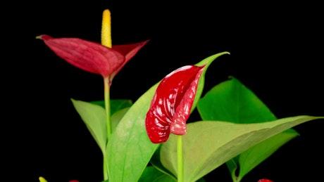 Red Zantedeschias opening their petals