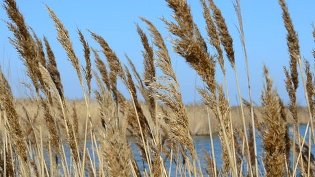Reeds by a large lake