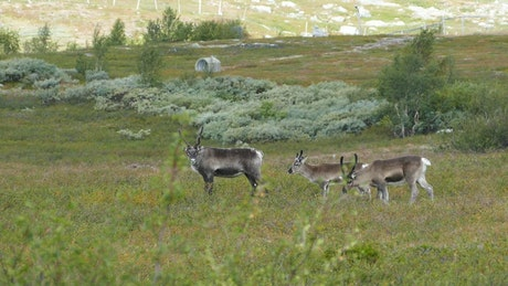 Reindeer in a green valley