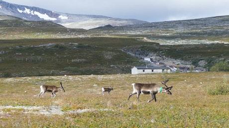 Reindeer walking through the valley