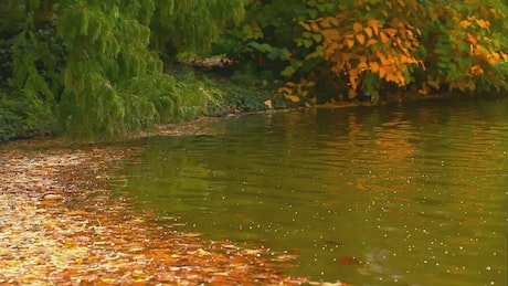 Relaxing lake during fall with leaves floating in it