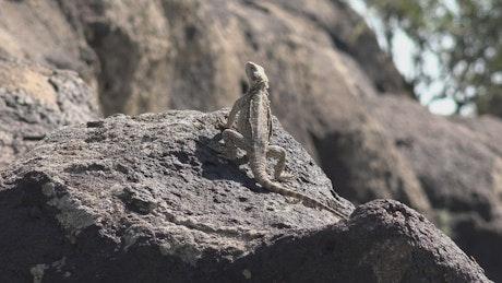 Reptile taking a sunbath on a rock