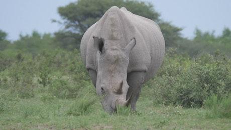 Rhino grazing in the wild