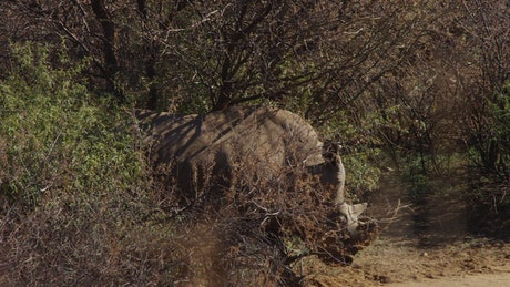 Rhino walking in the jungle