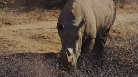 Rhinoceros searching for water in the desert