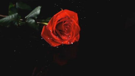 Rose landing on a table and splashing