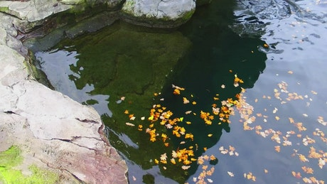 Rose leaves floating in a pond